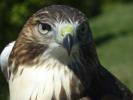 This is Olympia, a young Red-tailed Hawk.