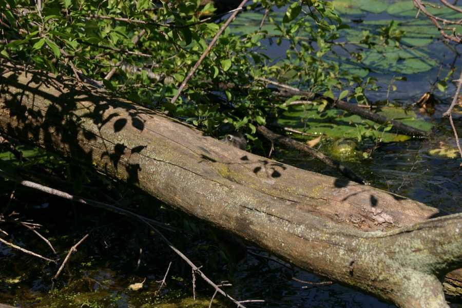 The head remained in view (behind the log) only momentarily.  Can you see him?