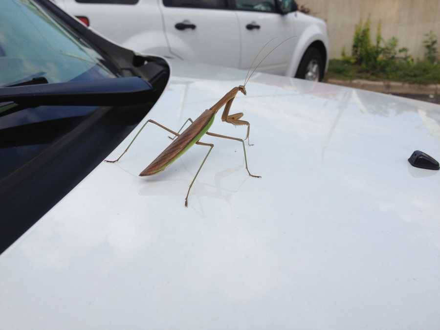 What is believed to be a praying mantis visited the WISN 12 News' parking lot Wednesday morning.