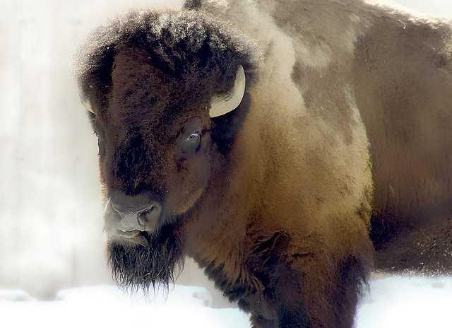 Or Buffalo Mop, Texas.