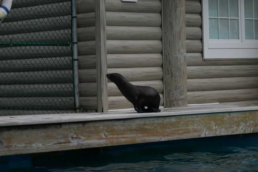 Colby, the three month old California sea lion pup, is now big enough to join the other seals and sea lions in the show pool.