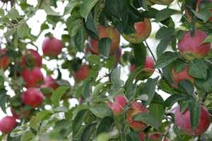 Unseasonably hot weather in March let the apple trees to blossom early.