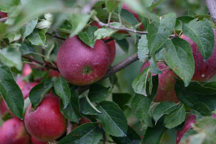 The Wisconsin weather, starting in March and continuing through September, has taken a significant toll on this year's apple crop.