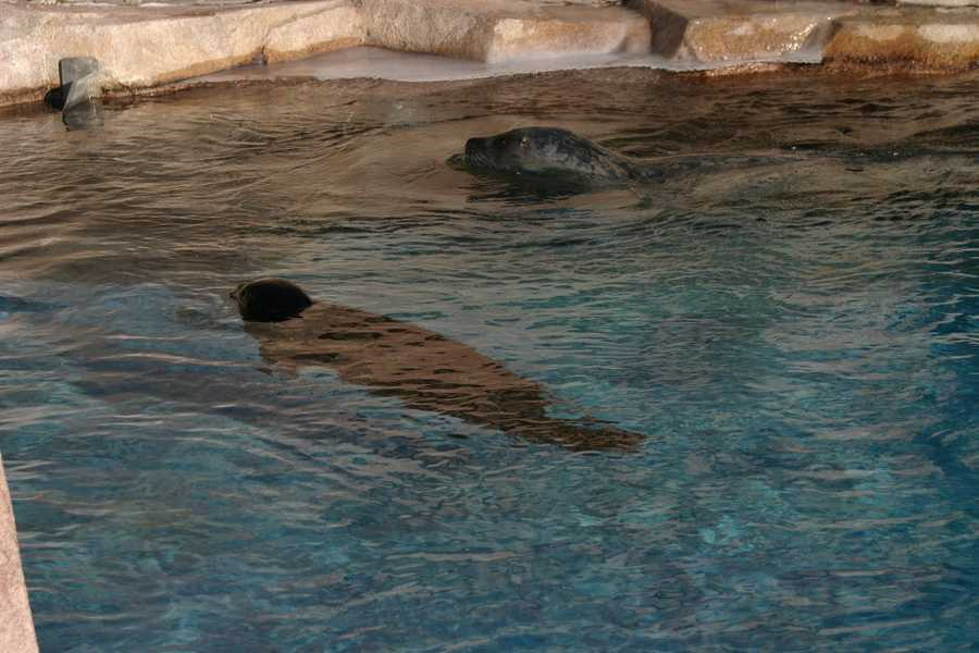 Harbor Seals Ringo (grey, top) and Sidney (black, bottom) playing in the water even on this cold day.