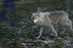 The wolves were also out and very visible on this day.