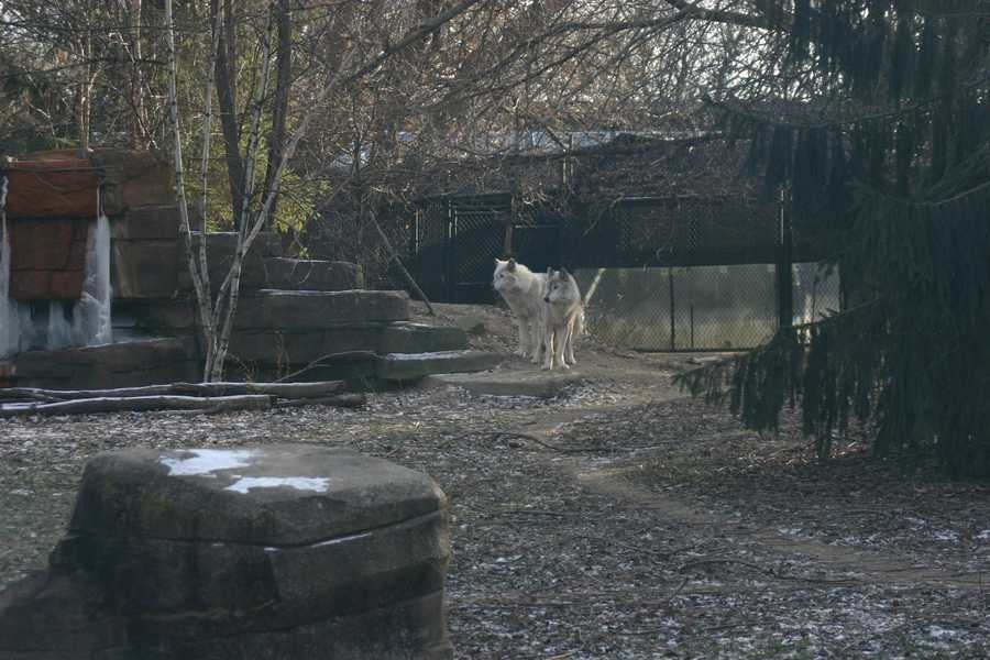 Three wolves were visible on this visit.
