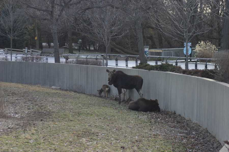The American Moose also no bothered by the cold weather.