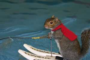 Twiggy the water skiing squirrel is preforming at the Milwaukee Boat Show this weekend.