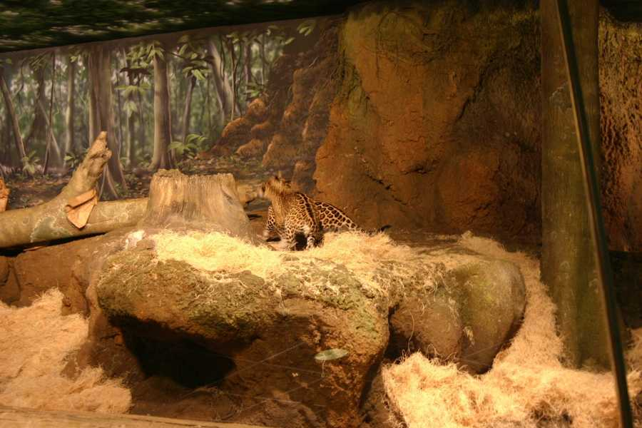"""The book """"Pat the Great Cat, A Jaguar's Journey"""" is available at the zoo's gift shop."""