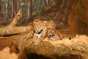 The Milwaukee County Zoo introduced two new jaguar cubs to the public today.