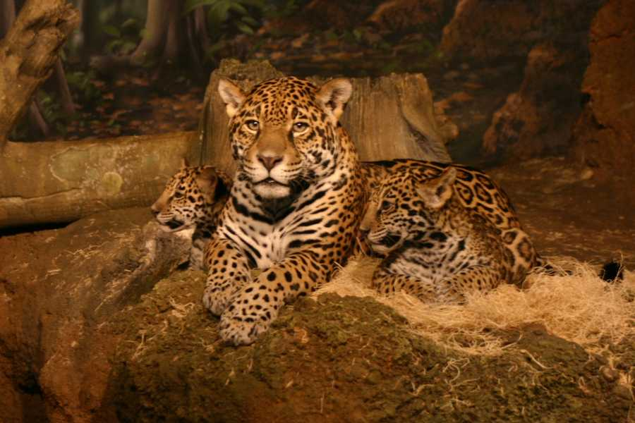 Only names that reflect the heritage or history of the jaguar will be considered.