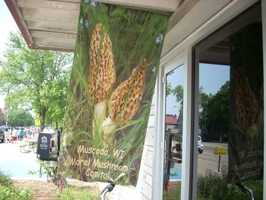 Muscoda, Wis. - Morel Mushroom Capital of WisconsinTheir annual fungi festival will be held May 18-19, 2013.