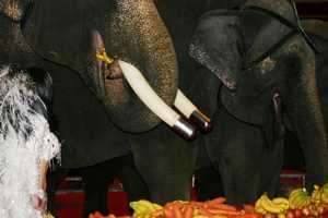Step right up and see the elephants enjoy a nutritious lunch.