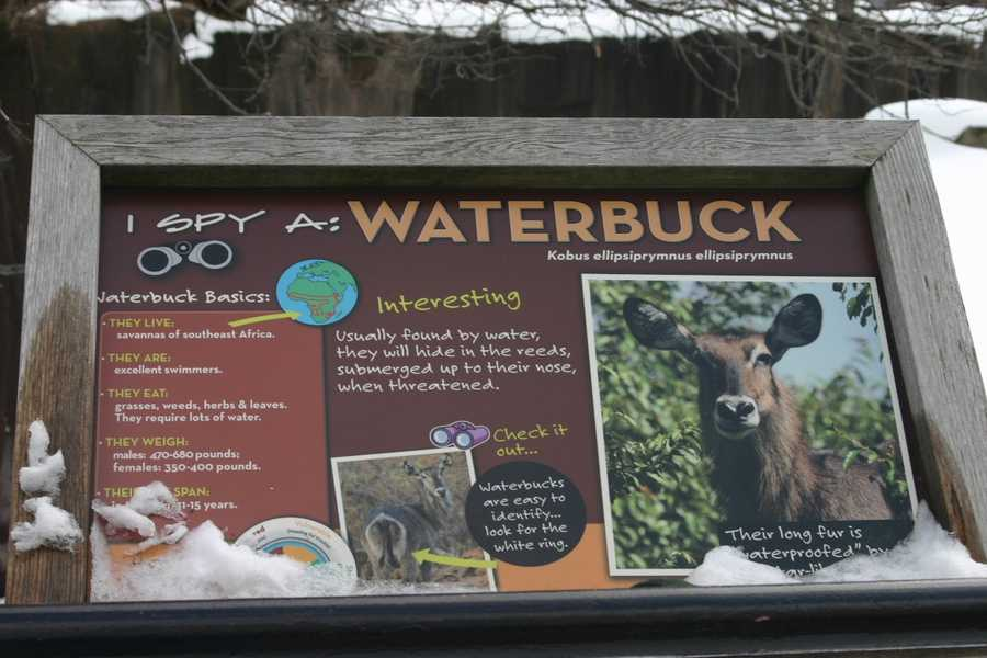 The Waterbuck is another African Animal that needs to stay warm in the Winter Quarters.
