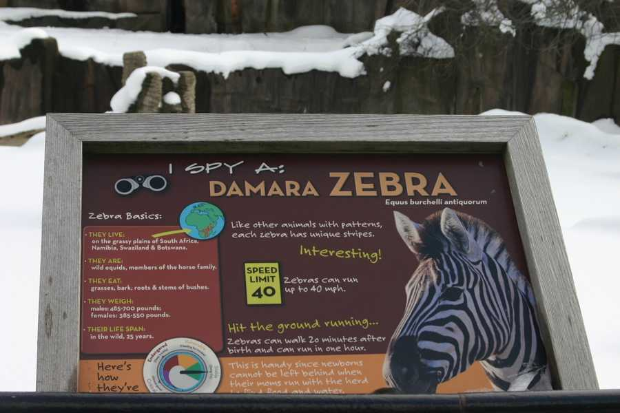 Zebras can run up to 40mph but not up here during the winter.