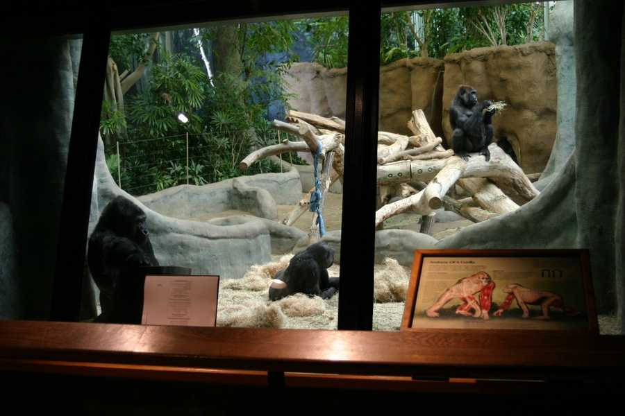 Another tour is in the Stearns Family Apes of Africa/Gorilla Kitchen.