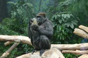 See the inner workings of this building, and learn about the food the gorillas enjoy and the bedding they sleep on. Also, hear more about why fire hoses are used in these exhibits.