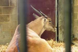"""Solomon the Eland also spends his winters down here. Say """"Hi"""" if you visit this weekend."""