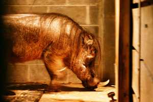 Boris the warthog, one of the animals you will see on the tour, welcomes visitors to tour his Winter Quarters.