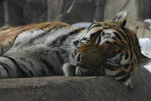 Do you have any idea what is underground below this sleeping tiger...