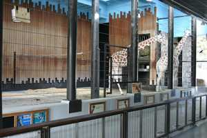 Visitors will walk through the special medical stall used for hoof trims, blood draws and weights. This area also has a platform to put keepers at eye level with giraffes.
