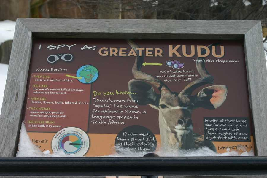 Greater Kudus also share this summer space with the other African animals.