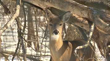 White-tailed deer at MacKenzie Environmental Education Center. Deer are North America's most abundant big-game animal.