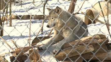 Wolf at MacKenzie Center near Poynette. This wolf was born in captivity. Wild wolves have returned to Wisconsin after being extirpated decades ago.