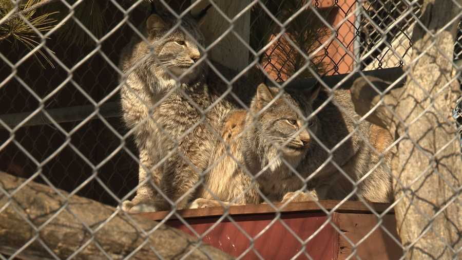 Two Canada lynx at the MacKenzie Center. Lynx are a protected wild animal, and member of the cat family. They are rarely seen in Wisconsin.