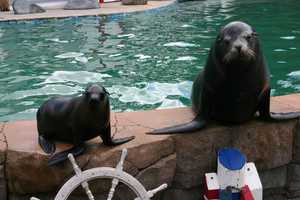 Other than the formal training, one way Colby learns is by watching the other sea lions. Also called modeling behavior.