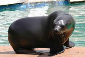 Colby is the third and youngest male of the group.  There are also five female sea lions.