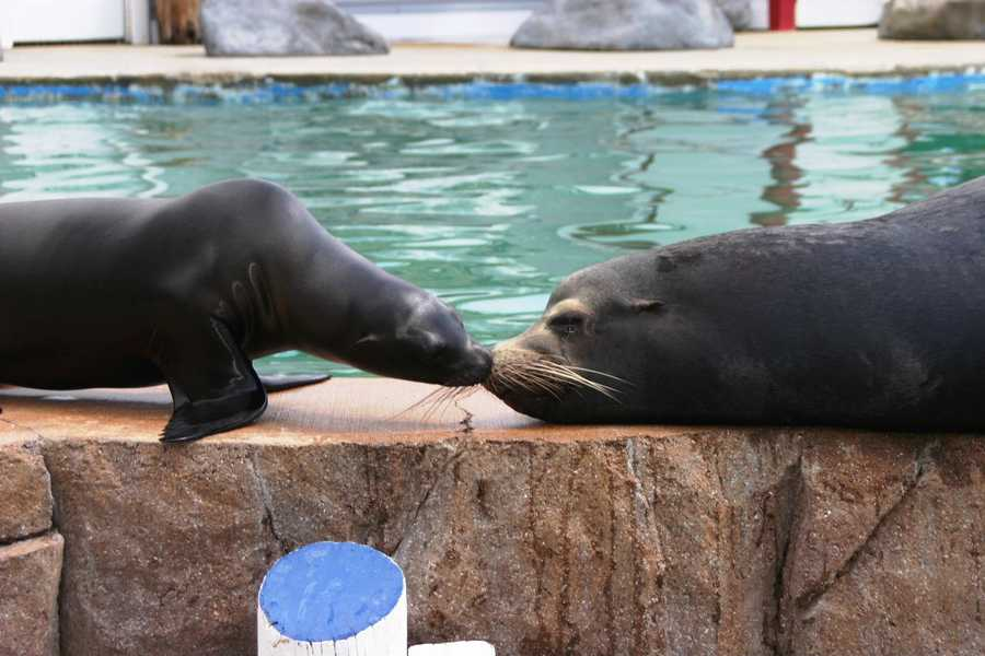 How can you not love this adorable California sea lion pup?  That's Colby (10 months) on the left and Slick (27 years) on the right.