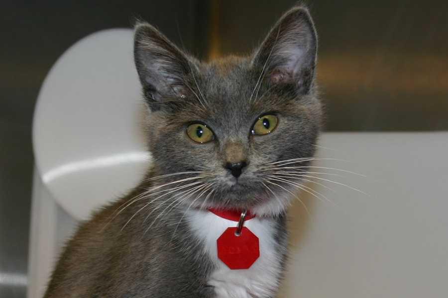 Meet June! She is a 10-12 week-old Domestic Shorthair.