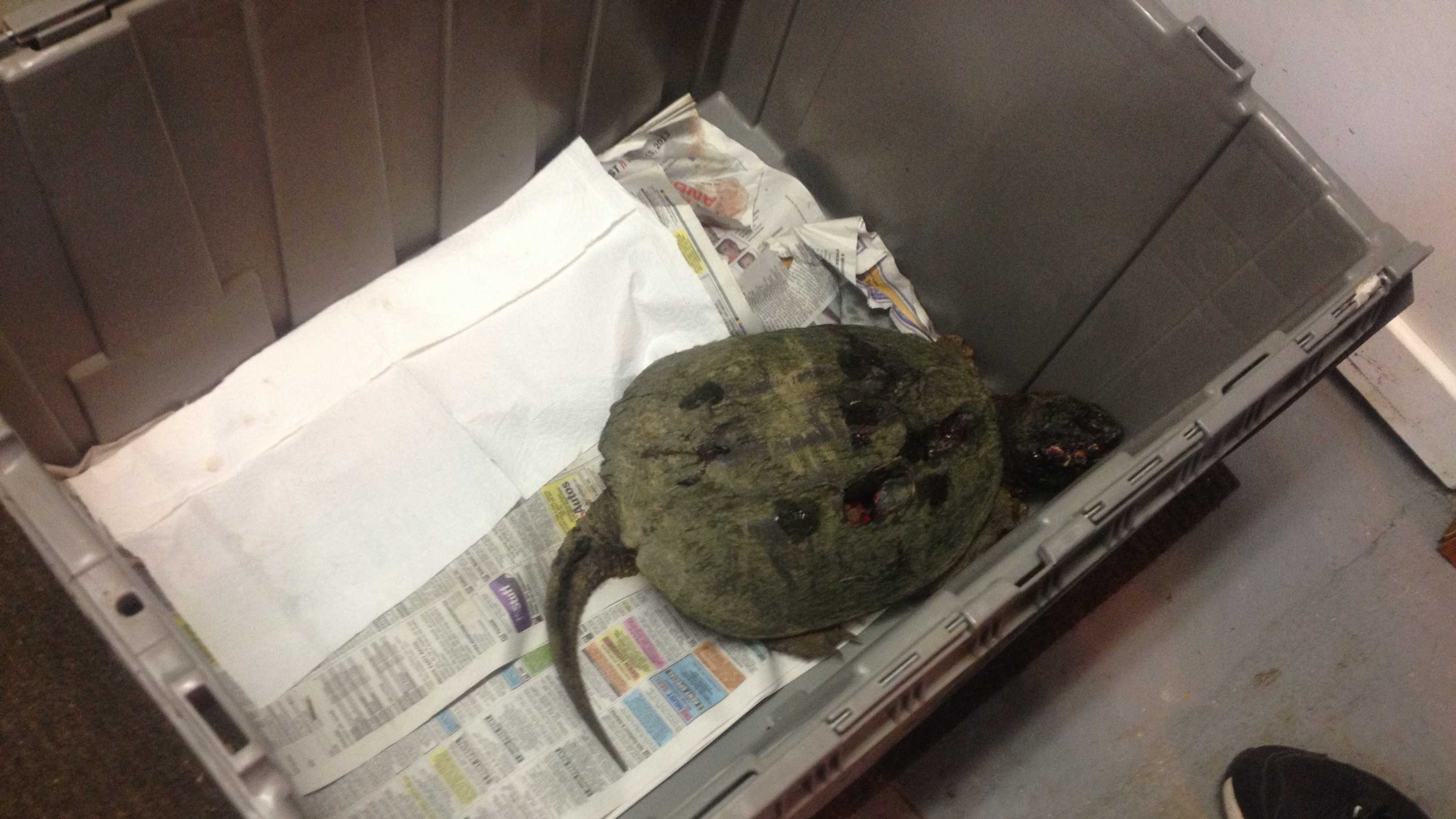 turtle beaten.JPG