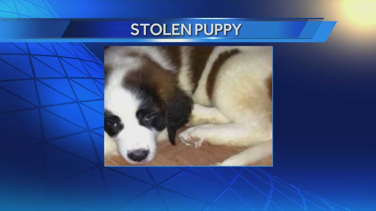 Owner desperate to find St. Bernard that disappeared from car