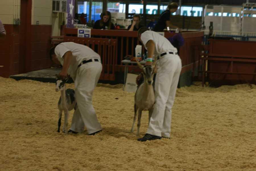 Animal showing/judging