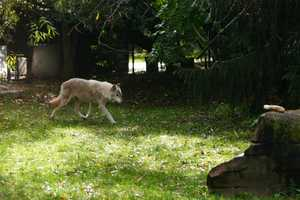 Five of the seven wolves in that litter came to Milwaukee when they were 12 weeks old.