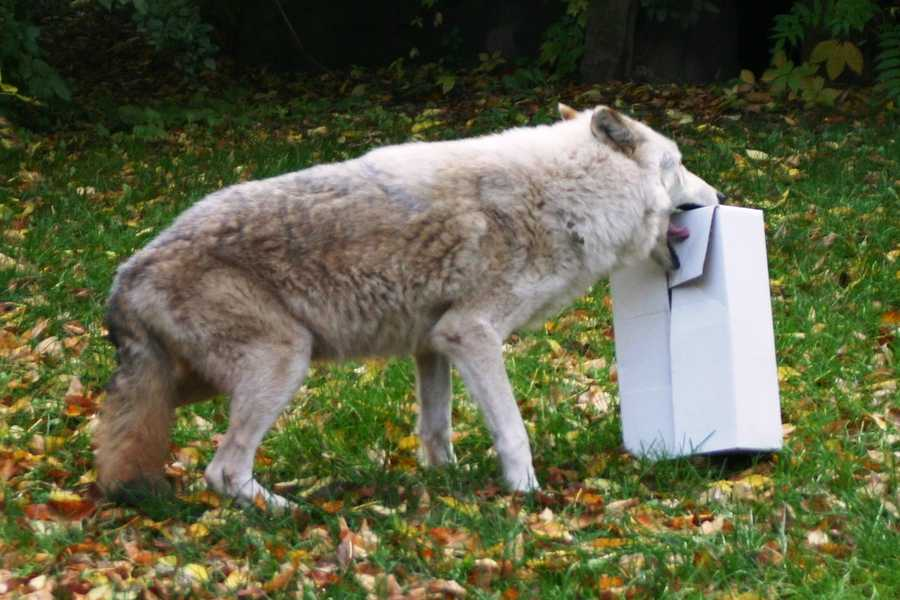 The wolves have a rotating schedule of enrichment to work on different areas of development.  These boxes were filled with treats to encourage them to tear into them.