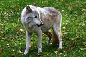 On Saturday, head to the zoo to take part in activities celebrating the importance of wolves.