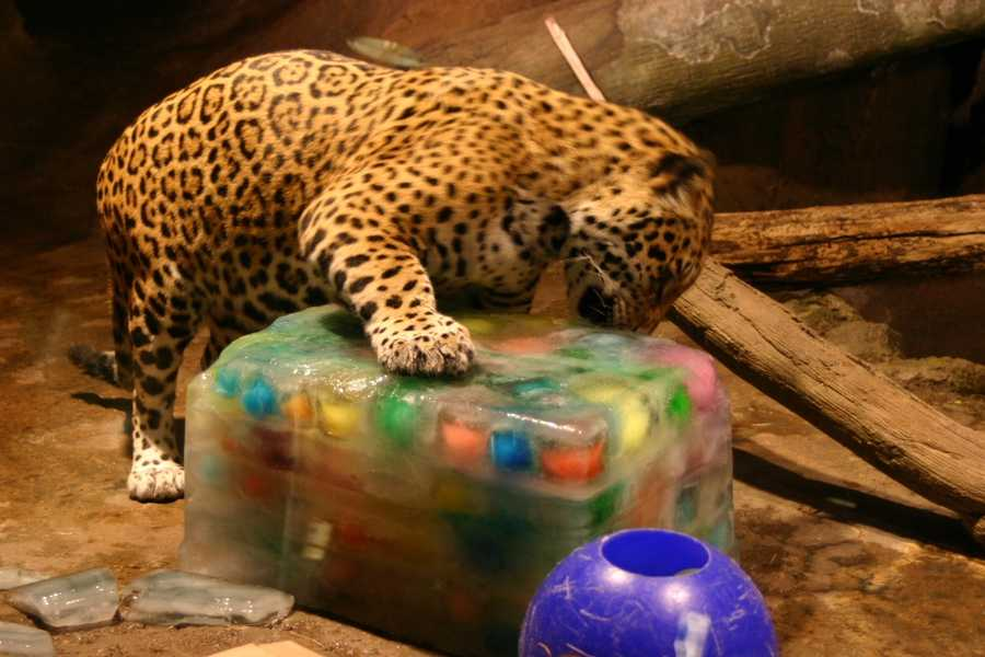 Pat was a wild jaguar that was bothering farmers in Belize, but instead of killing the animal, Pat ended up in the zoo.