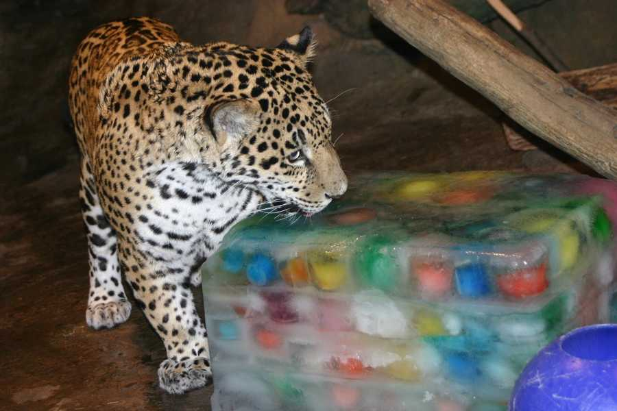 The jaguar cubs B'alam and Zean celebrated their first birthday at the Milwaukee County Zoo today.