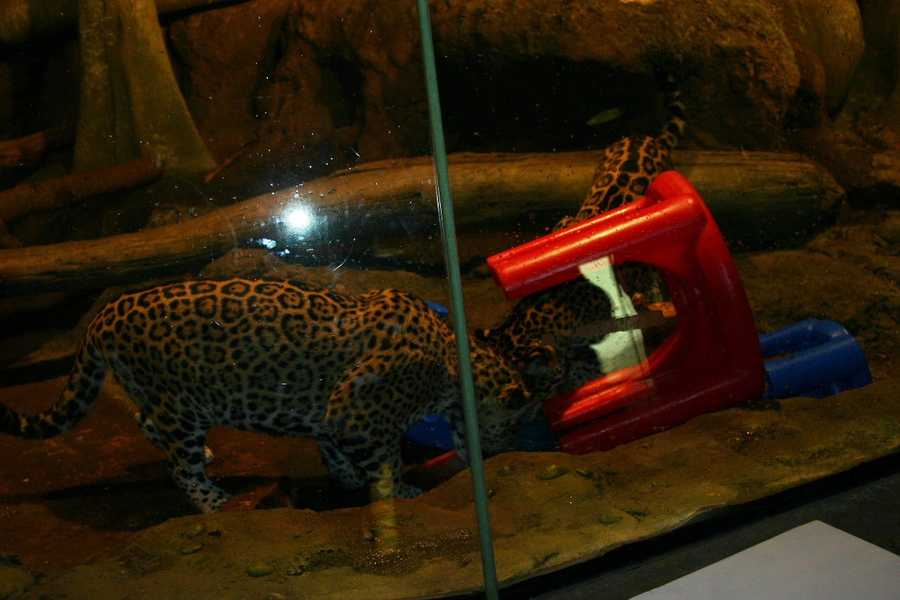 The cubs had a number of items to provide enrichment to help the animals exhibit natural behaviors.