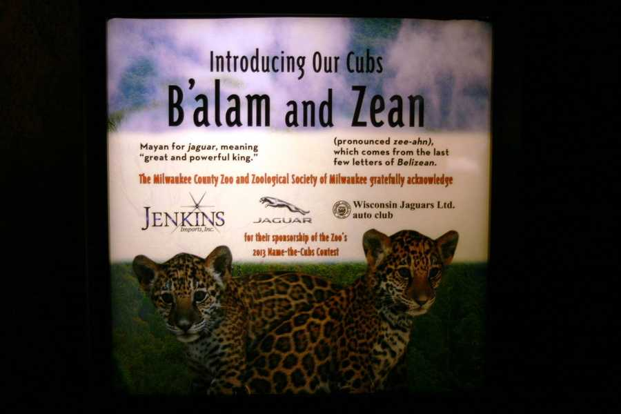 """B'alam is Mayan for jaguar and means """"great and powerful king"""", Zean (pronounced zee-ahn) comes from the last few letters of Belizean."""