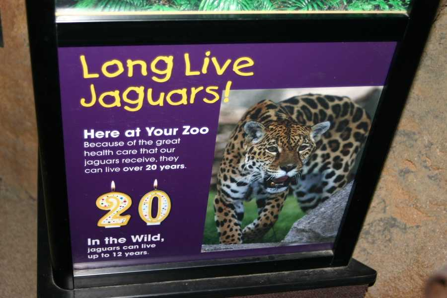 Jaguars can live to age 20 in the zoo because of the great health care, and about 12 years in the wild.