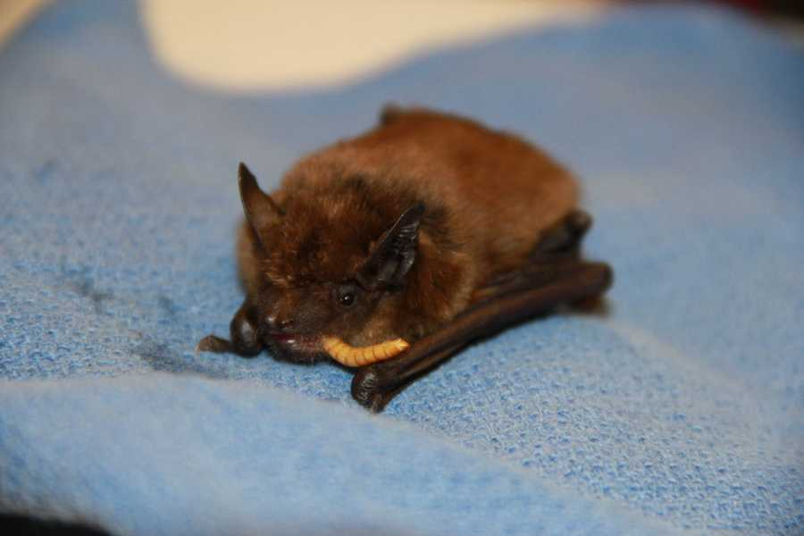 Big brown bats range from northern Canada though the U.S. and south through Central America.