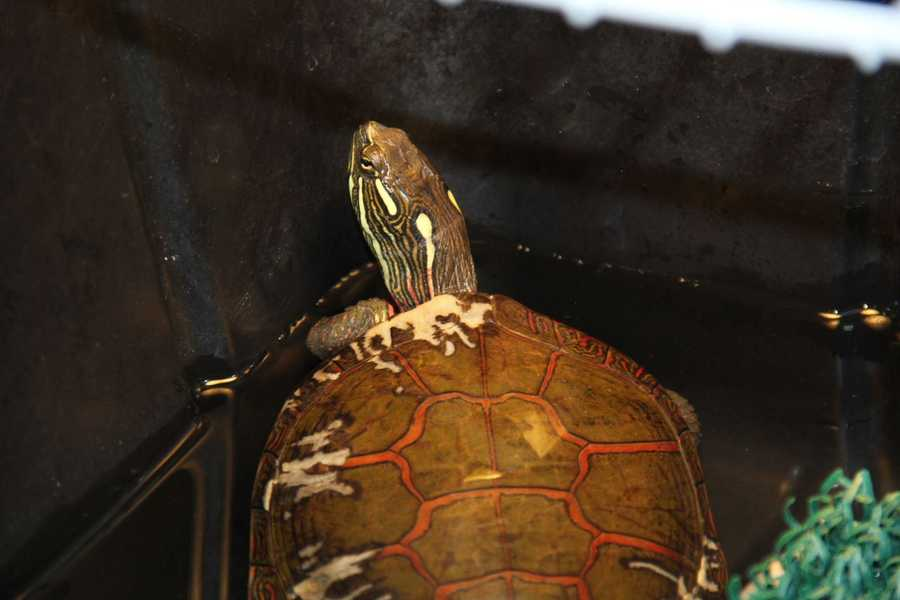 This painted turtle is one of several currently at the WHS Wildlife Rehabilitation Center. This turtle was brought in after a predator was chewing on its shell.