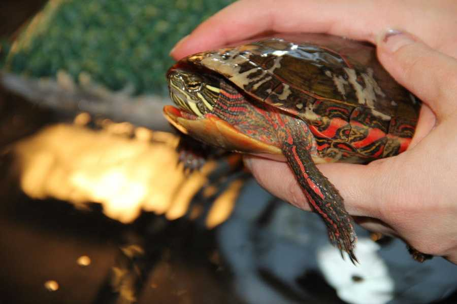 This turtle is rehabbing and should be released in the spring.
