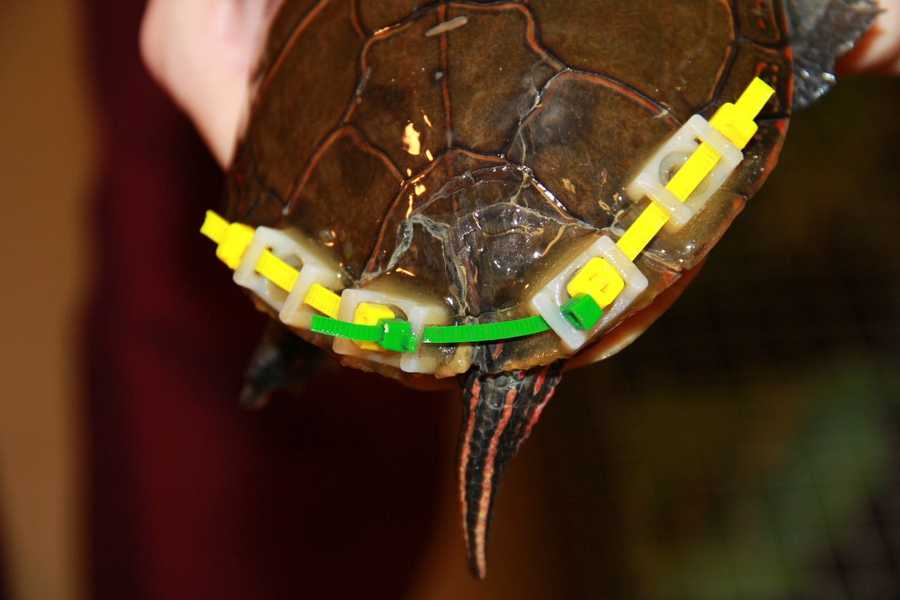 This turtle was hit by a car and brought in with a fractured shell.
