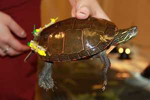 Another example of a painted turtle.