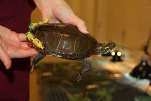They have had very good success with setting the shell and allowing the turtle to heal.
